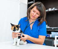 Young woman vet inspects cat Royalty Free Stock Photos