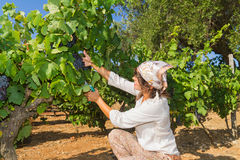 Young woman, vine grower, in the vineyard. Royalty Free Stock Image