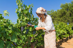 Young woman, vine grower, in the vineyard. Royalty Free Stock Photography