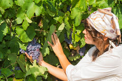 Young woman, vine grower, in the vineyard. Stock Photos