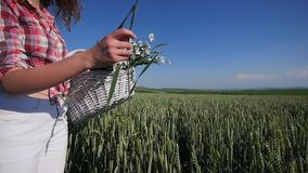 Young woman walking with basket with flowers a wheat field with blue sky on the background. slow motion stock video