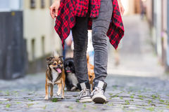 Free Young Woman Walking With Three Cute Dogs In The City Stock Photo - 98899890