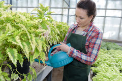 Young woman watering plants for sale in nursery greenhouse. Young woman watering plants for sale in a nursery greenhouse Stock Photography