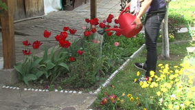 Young woman watering tulips in a garden, Bulgaria. Mountain village Anton - Bulgarian center of rural tourism, national rural architecture and a popular tourist stock video footage