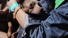 Small cute brown dog is held by woman`s hands wearing blue jacket on sunny day. Young woman wearing nice jeans jacket and gold bracelet is holding in hands stock video