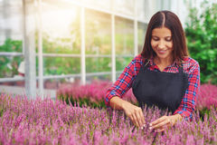 Young woman working in a greenhouse tending plants Royalty Free Stock Photo
