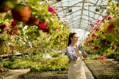 Young woman working with spring flowers in the greenhouse. Pretty young woman working with spring flowers in the greenhouse royalty free stock photo