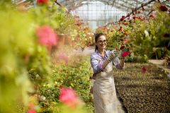 Young woman working with spring flowers in the greenhouse. Pretty young woman working with spring flowers in the greenhouse stock photo