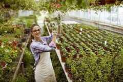 Young woman working with spring flowers in the greenhouse. Pretty young woman working with spring flowers in the greenhouse stock image