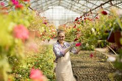 Young woman working with spring flowers in the greenhouse. Pretty young woman working with spring flowers in the greenhouse stock images