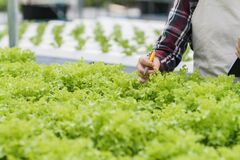 Free Young Women Are Harvesting Organic Vegetables From Hydroponics To Grow Vegetables That Are Healthy. Growing With A Hydroponic Royalty Free Stock Photo - 190884915
