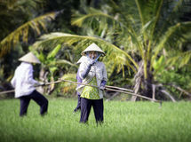 Cultivating rice in vietnam 2 Stock Photos