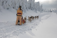 Young women-musher on trail of Sedivacek's long Stock Photo