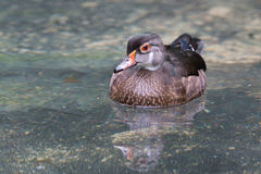 Young wood duck swimming in water Stock Images