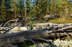 Young wood grew on a place of an old windbreak. Royalty Free Stock Photos