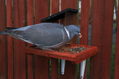 Young Wood Pigeon Feeding. Stock Photos