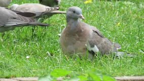 Young Wood pigeon. Young Wood pigeon, Stock Dove or Squab in urban garden stock video footage