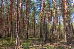 Young wood. The young wood put by people - all trees of one age Royalty Free Stock Photos