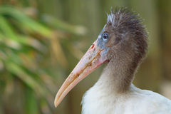 Young Wood Stork Royalty Free Stock Image