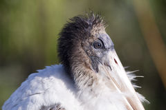 Young Wood Stork. At the Viera wetlands Stock Images