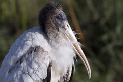 Young Wood Stork. At the Viera wetlands Royalty Free Stock Photos