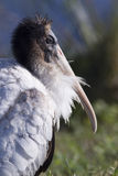 Young Wood Stork. At the Viera wetlands Stock Image