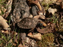 Young Wood Turtle 04 Royalty Free Stock Photography
