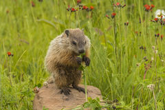 Young Woodchuck Eating. A baby woodchuck eating a stalk of grass stock images