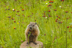 Young Woodchuck Eating. A baby woodchuck eating a stalk of grass royalty free stock photography