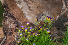 Young Woodchuck (Marmota monax) Behind Flowers. Captive animal Stock Images
