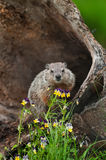 Young Woodchuck Marmota monax Behind Flowers stock photo