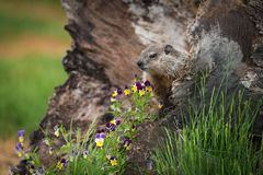 Young Woodchuck Marmota monax and Flowers Royalty Free Stock Photos