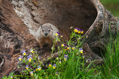 Young Woodchuck Marmota monax Glares Out from Log. Captive animal Stock Photos