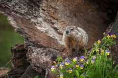 Young Woodchuck Marmota monax Head Up in Log. Captive animal Royalty Free Stock Photography