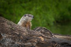 Young Woodchuck Marmota monax Intently Looks Right. Captive animal Royalty Free Stock Photo