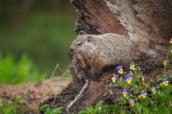 Young Woodchuck Marmota monax Looks Left From Log stock image