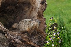 Young Woodchuck Marmota monax At Opening of Hollow Log. Captive animal Royalty Free Stock Photography
