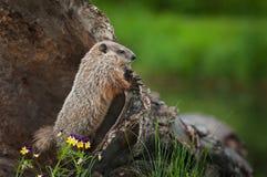 Young Woodchuck Marmota monax Peers Over Log Stock Image
