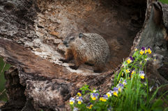 Young Woodchuck Marmota monax Stands Inside Log stock images