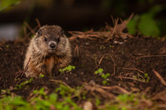 Young Woodchuck Royalty Free Stock Photo