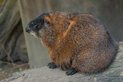 Young Woodchuck. Sitting on a tree royalty free stock photography