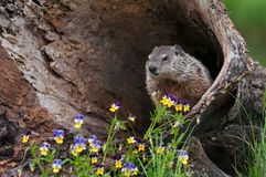 Young Woodchuck & x28;Marmota monax& x29; Looks Out from Inside Log Royalty Free Stock Image