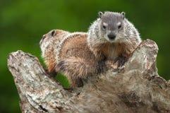 Young Woodchucks (Marmota monax) Atop Log. Captive animals Royalty Free Stock Photography