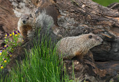 Young Woodchucks Marmota monax Explore Log Royalty Free Stock Image