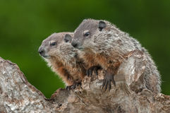 Young Woodchucks Marmota monax Look Left from Atop Log Royalty Free Stock Images