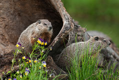 Young Woodchucks (Marmota monax) Look Right from Log. Captive animals Royalty Free Stock Photography