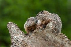 Young Woodchucks Marmota monax Nuzzle. Captive animals Royalty Free Stock Photography