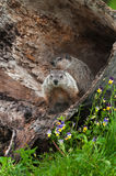 Young Woodchucks (Marmota monax) Sit in Log. Captive animals Stock Image