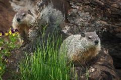 Young Woodchucks Marmota monax Sit on Log. Captive animals Stock Images
