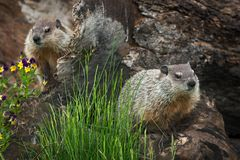 Free Young Woodchucks Marmota Monax Sit On Log Stock Images - 89990904